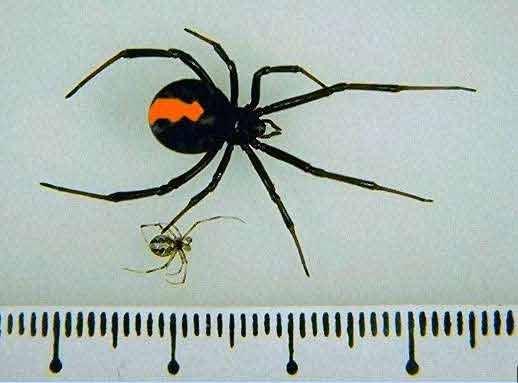 セアカゴケグモの画像 p1_13